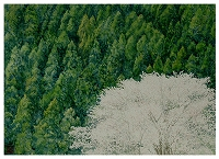 090507-s-200-1makinoyamazakura.jpg
